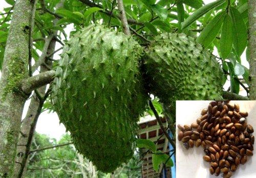 Graviola Soursop Annona Muricata Guyabano Tree 20 Seeds