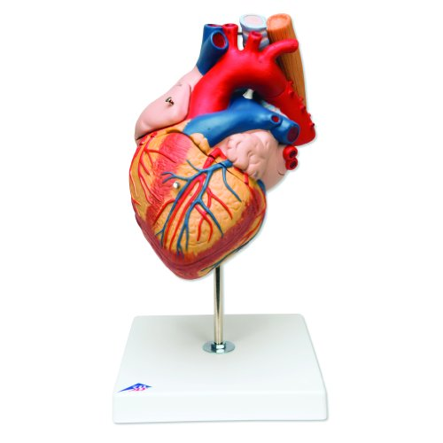 3B Scientific G13 5 Part Heart with Esophagus and Trachea Model, 2 Times Life Size, 7.1